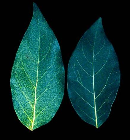 nitrogen avocado