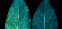 nitrogen avocado for Topics in Subtropics Blog