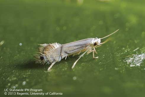 leafminer adult