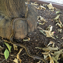 Gopher snake climbing citrus tree