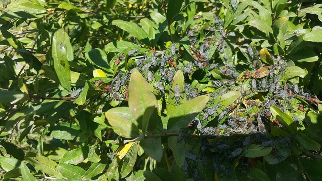 leaffooted bugs massed