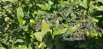 leaffooted bugs massed for Topics in Subtropics Blog