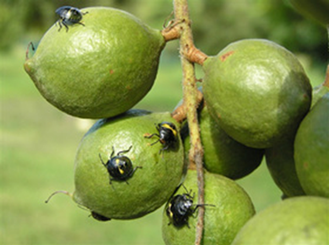 Infestation on macadamias