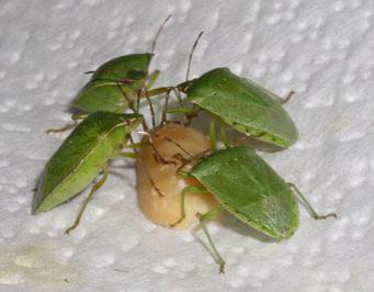 Stink bugs feeding