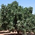 mature fig tree