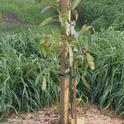 young avocacdo tree