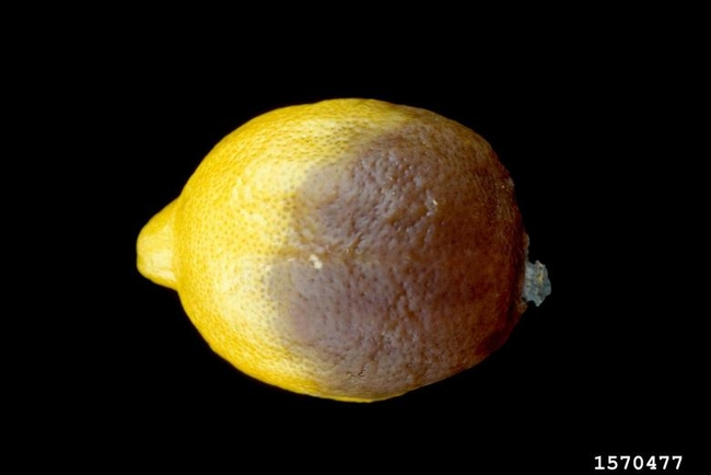 citrus brown rot lemon