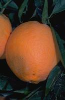 citrus brown rot orange