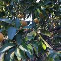 citrus leaf claering 1