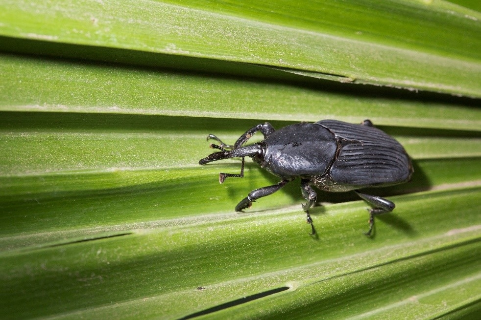 Palm Weevil Threat to Palm Trees - Topics in Subtropics - ANR Blogs