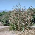 avocado verticillium