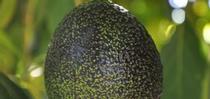 avocado fruit for Topics in Subtropics Blog
