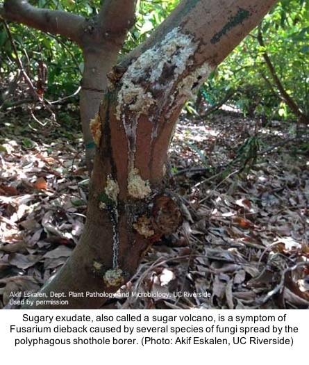 fusarium dieback avocdo