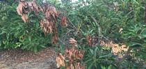 avocado leaf blight before heat for Topics in Subtropics Blog