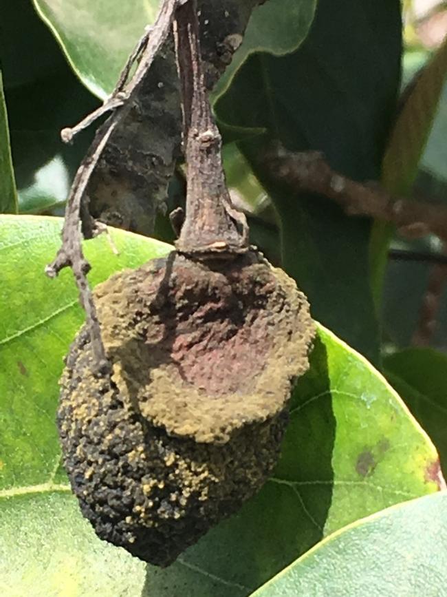 avocado fruit hot