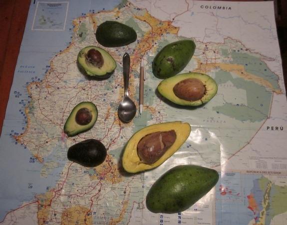 avocado vars