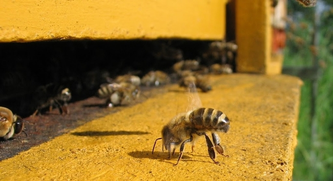 honeybee at hive