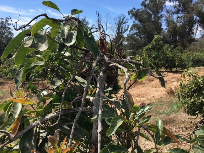 heat damaged tree