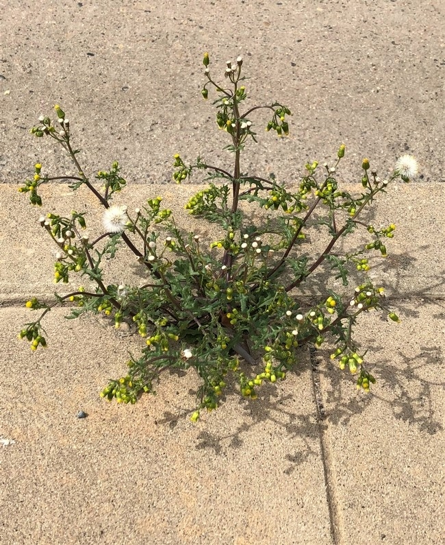 groundsel mature