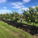 lemon rootstock trial with cover crop