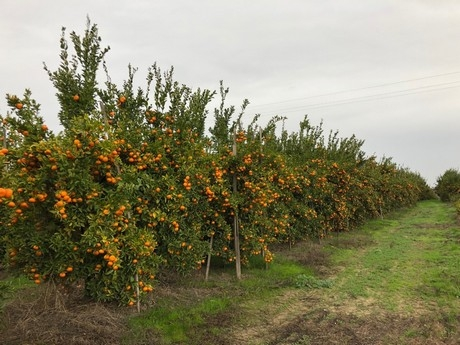 mandarin trees loaded