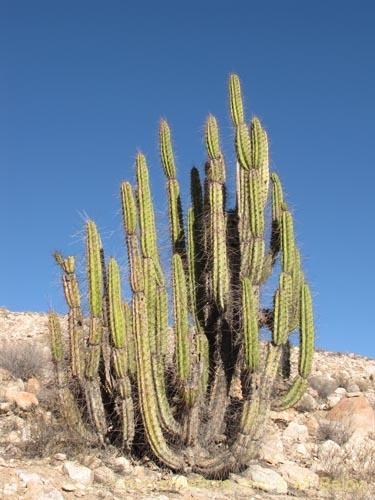 sanky cactus plant