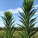 horseweed bolting