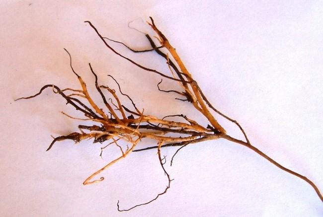 dead root tips