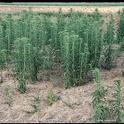 horseweed mature