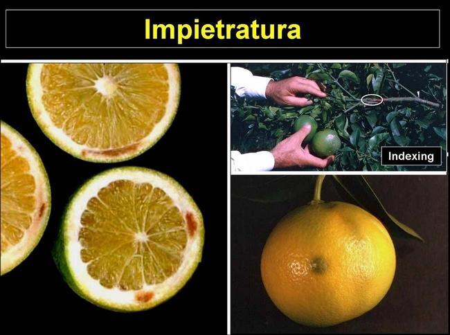 citrus impietratura