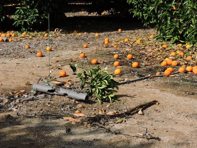 citrus replant