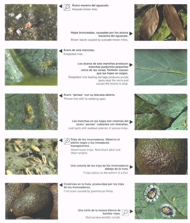 avocado pest sheet