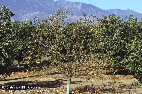 citrus dry root rot 3
