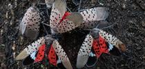 Spotted-lantern-fly-Adults-1024x394 for Topics in Subtropics Blog