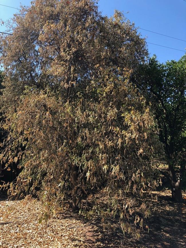 citrus dry root rot