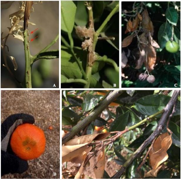 citrus gummosis twig