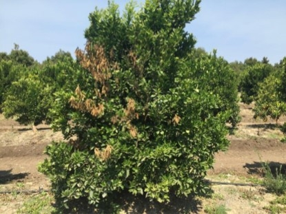 citrus gummosis flagging