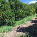 citrus weeds and disc