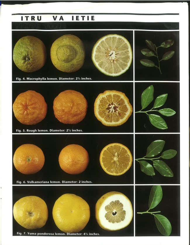 citrus rootstock pictures
