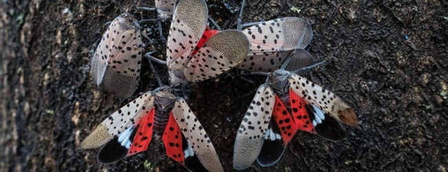Spotted-lantern-fly-Adults-1024x394