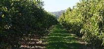 citrus cover crop for Topics in Subtropics Blog