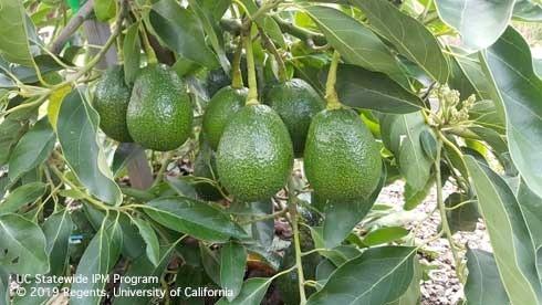 avocado cluster kosina