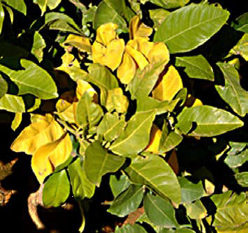 citrus winter yellows