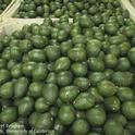 avocado bin
