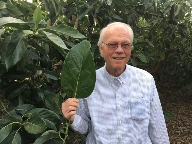 avocado big leaf homrone