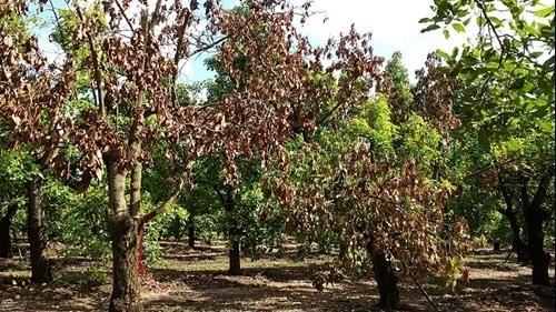 laurel wilt trees