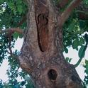 avocado tree decay
