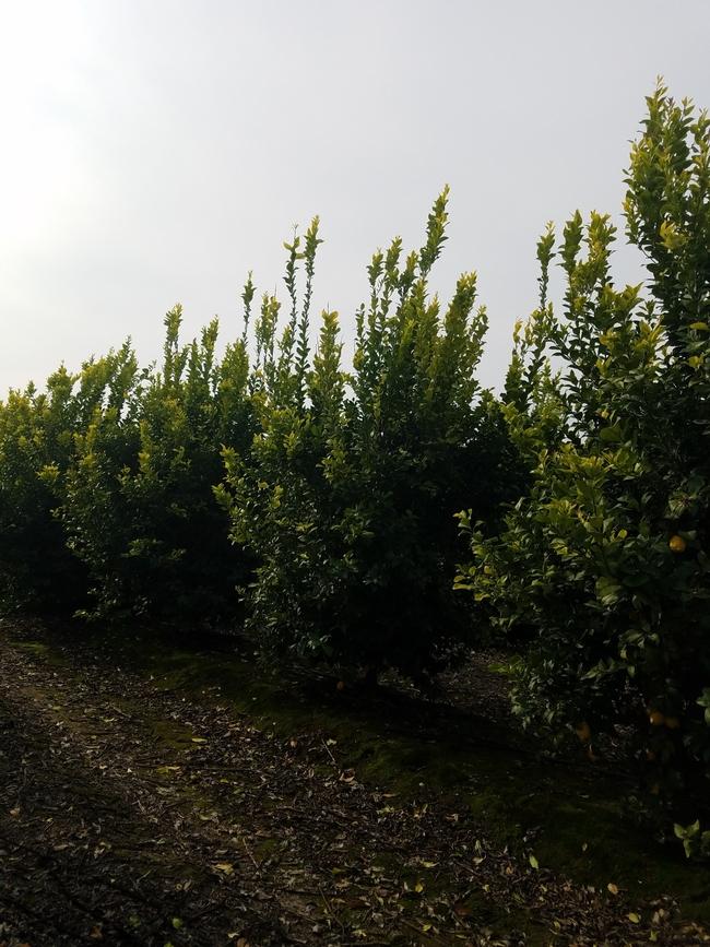 lemon tree vigorous growth