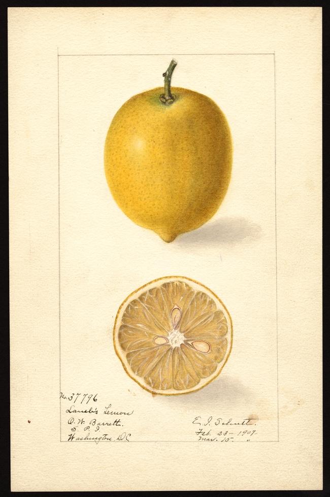 lambss lemon