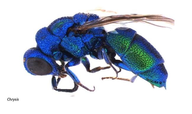 cuckoo wasps (3)